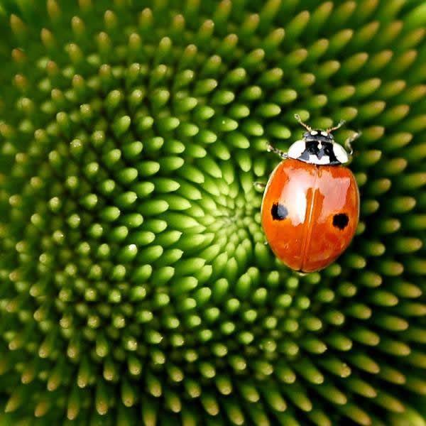 Fibonacci en la flores (1)