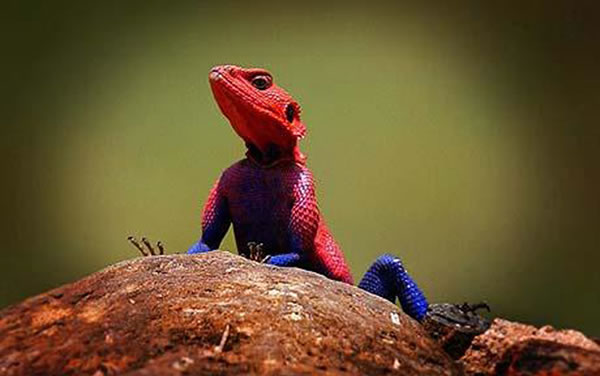 Lagarto Spiderman (4)