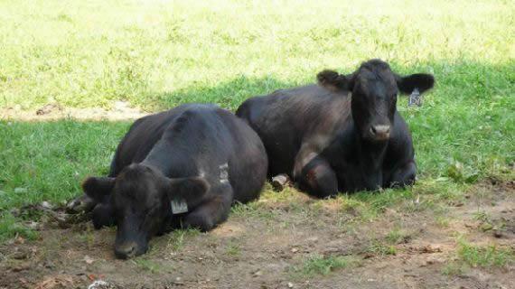 vacas amigas