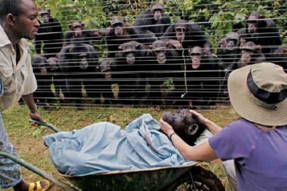 chimpancés amigo muerto