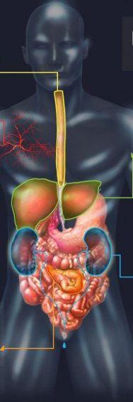 cuerpo humano anatomia alcohol
