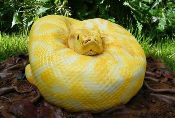 Piton Serpiente Pastel (2)