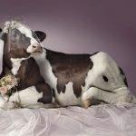 vaca novia
