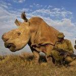 Uno de los últimos rinocerontes blancos