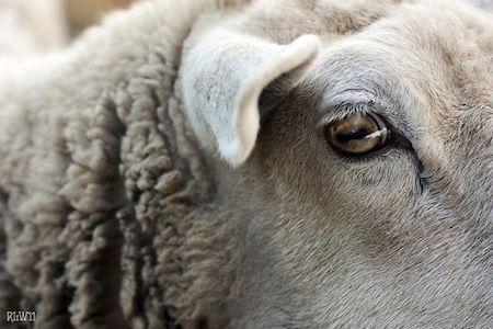 Ojos de oveja