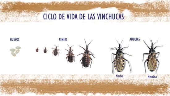 vinchucas