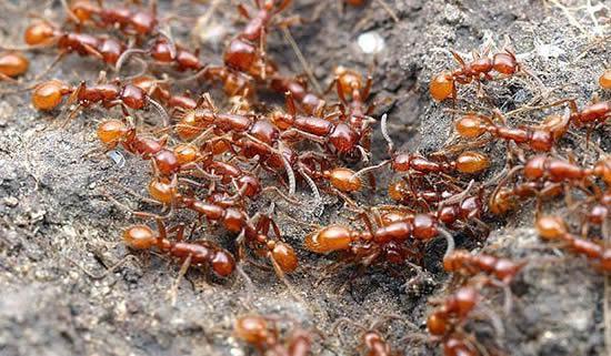 Hormiga Africana