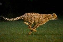 guepardo en cámara lenta