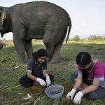 Café de popo de elefante, un lujo culinario
