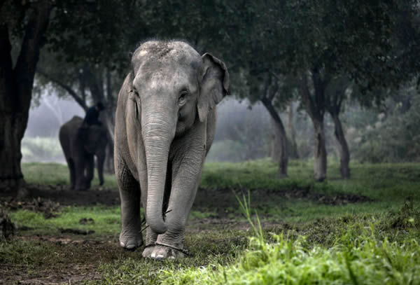 Black Ivory café elefantes (4)