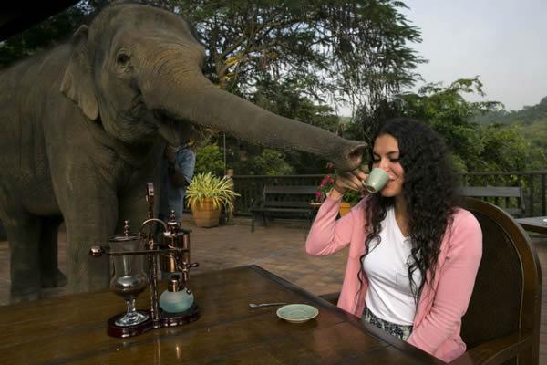 Black Ivory café elefantes (12)