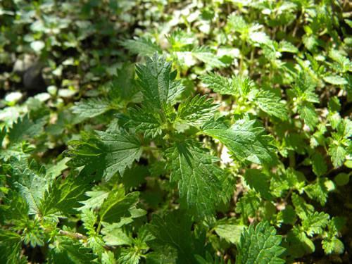 hojas ortiga