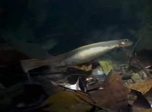 pez candiru (1)