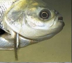 pez candiru (2)