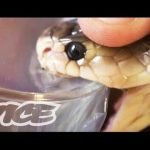 Drogarse con veneno de serpientes