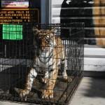 Muere domador por ataque de tigre en Sonora