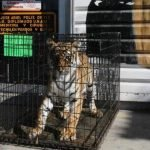 tigre sonora