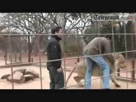 ataque leones