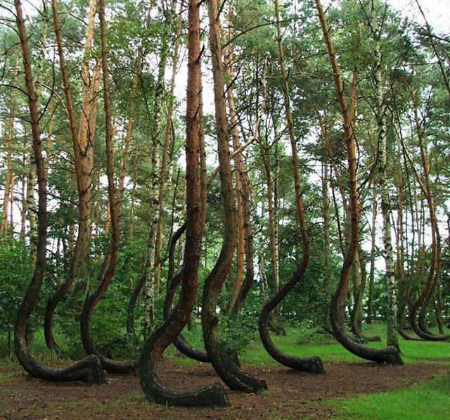 misterioso bosque curvado (10)