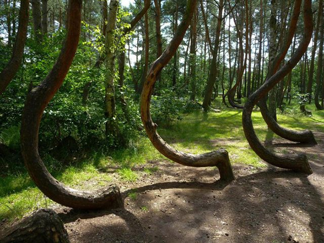misterioso bosque curvado (9)