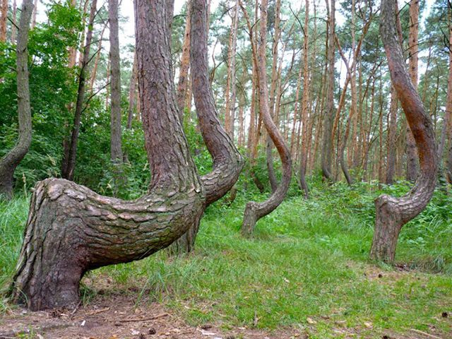 misterioso bosque curvado (6)
