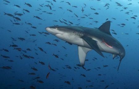 tiburon galapagos