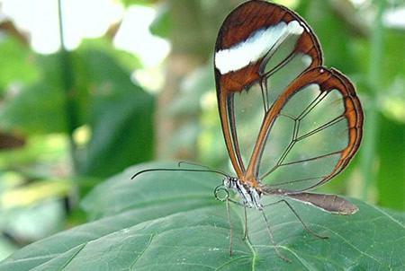 mariposa alas crista