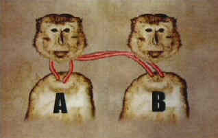 mono trasplante cabezas