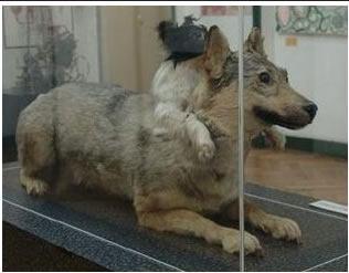 Demikhov perros
