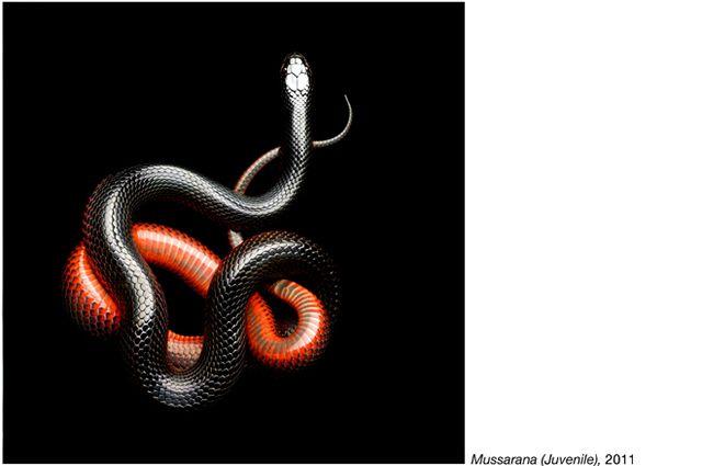 fotos serpientes - Serpentine Mark Laita (7)