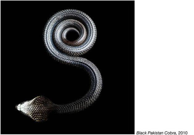 fotos serpientes - Serpentine Mark Laita (3)