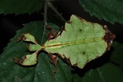 insecto hoja (5)