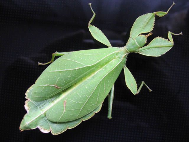 insecto hoja (3)