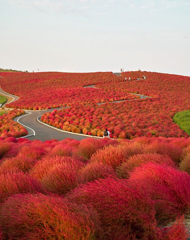 Parque Flores Hitachi Seaside Park