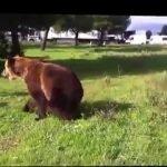 Un oso que hace trucos increíbles