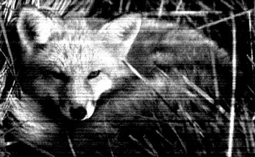 Foxtrot zorro