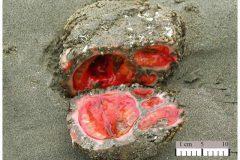 P. chilensis