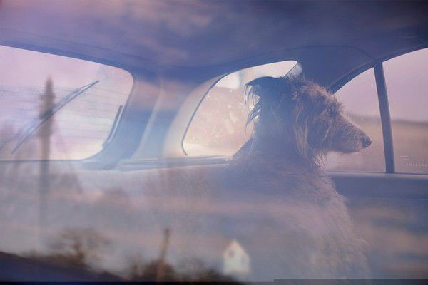 The Silence of Dogs in Cars (17)