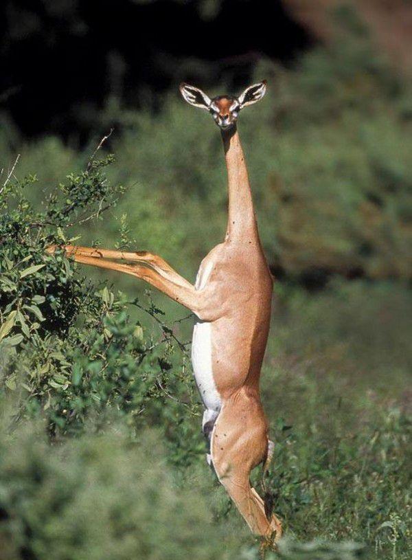 Gacela jirafa