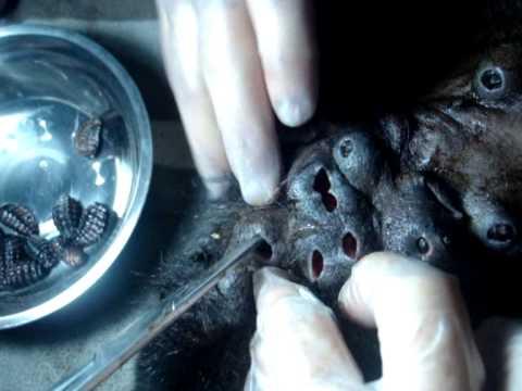 Mono aullador infestado de larvas de mosca