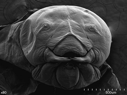 larva abeja microscopio