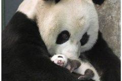 Bebé Panda conoce a su madre por primera vez