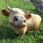Cuando los humanos soplaban a las vacas