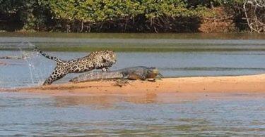 Caimán atacado por un jaguar