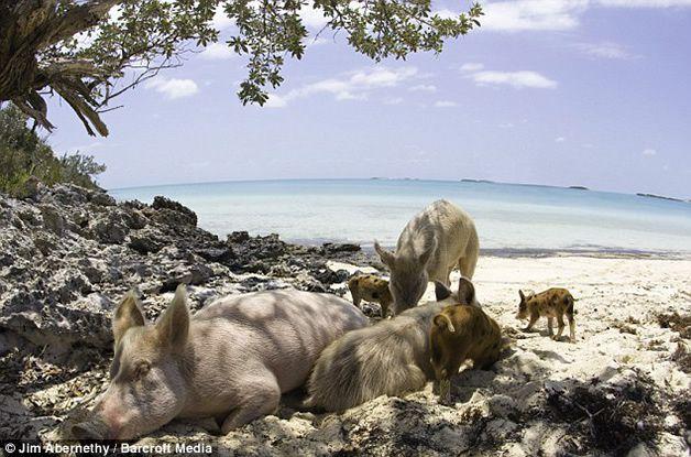 isla cerdos bahamas (4)