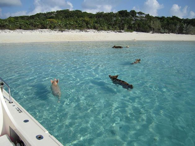 isla cerdos bahamas (3)