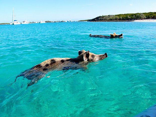 isla cerdos bahamas (2)