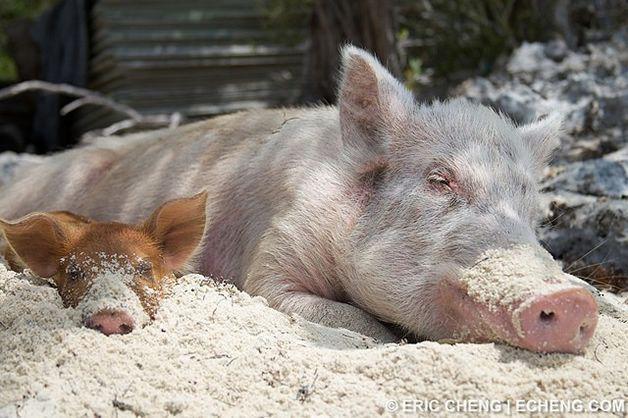 isla cerdos bahamas (14)