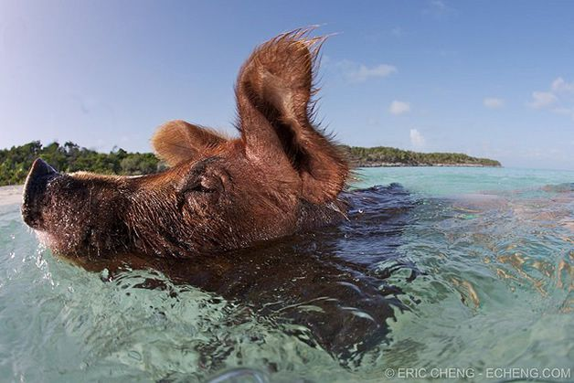 isla cerdos bahamas (13)