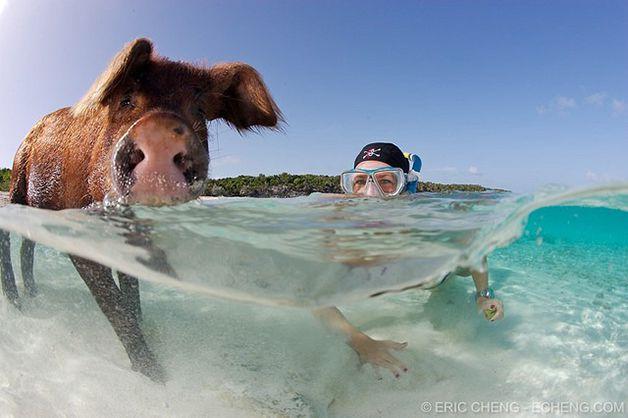 isla cerdos bahamas (12)